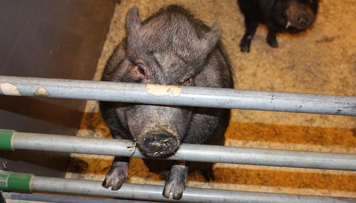 GRIS: Nei, dette er ingen selfie, men en gris fra Canada. Tror jeg.